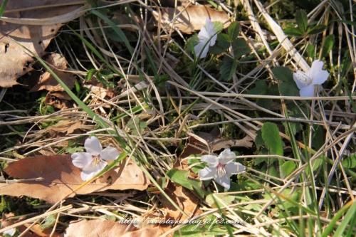 花ごと散る桜?