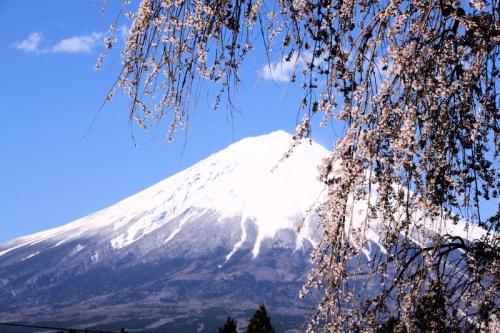 枝垂桜と富士山