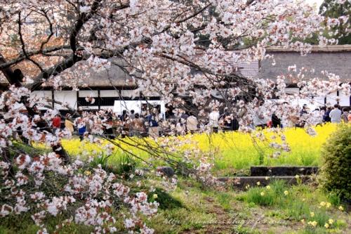 狩宿の下馬桜201405