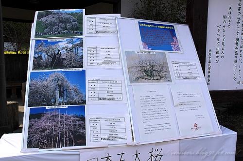 狩宿の下馬桜201403