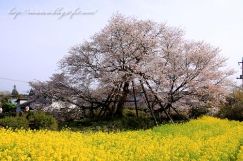 狩宿の下馬桜201402