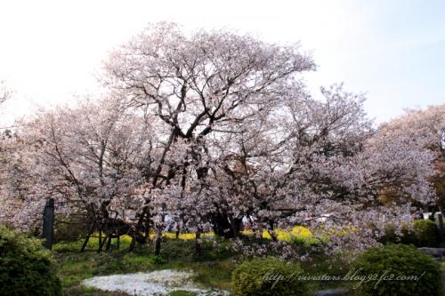 狩宿の下馬桜2014