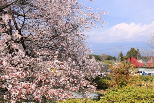 狩宿の下馬桜201409