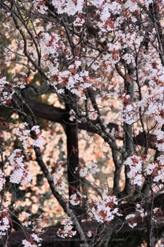 狩宿の下馬桜201408