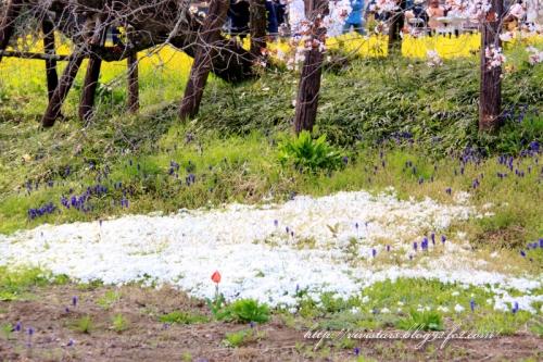 狩宿の下馬桜201407