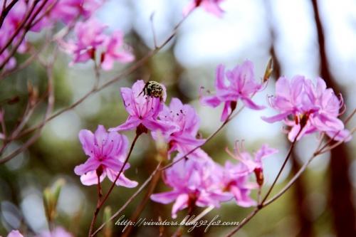 ミツバツツジと花粉いっぱいのクマ蜂
