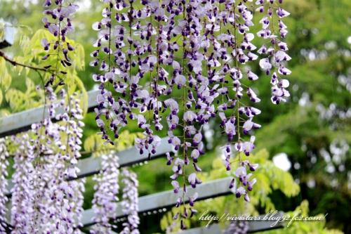 藤の花005