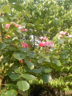 つる薔薇アンジェラ140522_0939~01