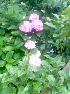 雨にぬれる紫陽花