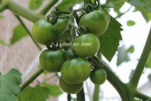 2014トマト