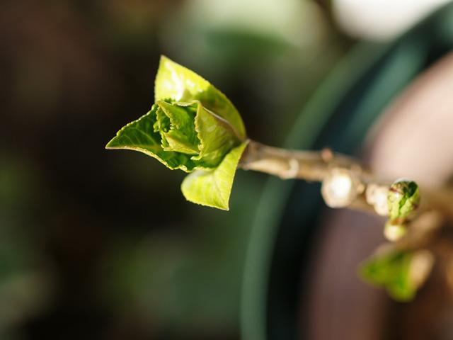 新芽がすくすく