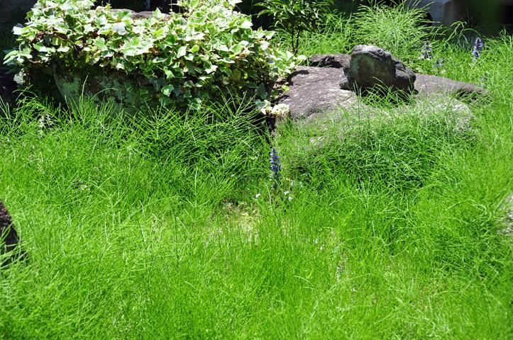 スギナ覆いし中庭