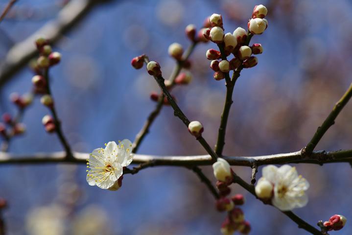 つぼみと開花
