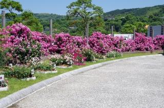 2014-5-16水俣薔薇 (3)