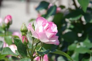 2014-5-16水俣薔薇 (8)