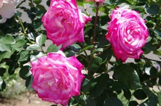 2014-5-16水俣薔薇 (4)