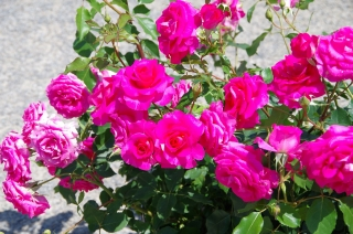 2014-5-16水俣薔薇 (2)