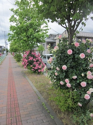 街路のバラ