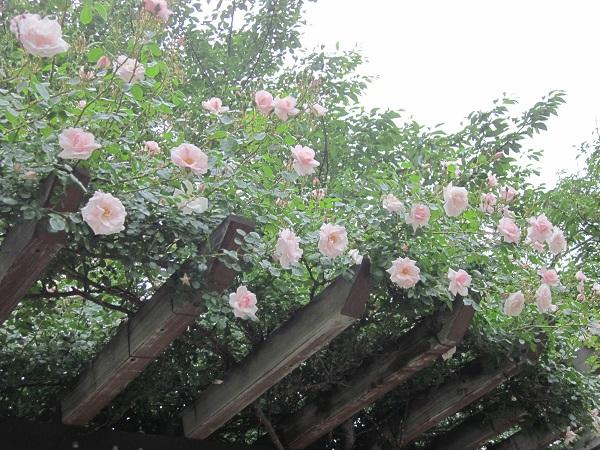 つる薔薇 名前不明