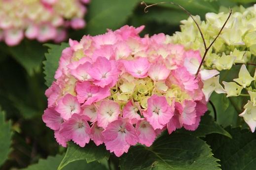 紫陽花 2014-6-9-7