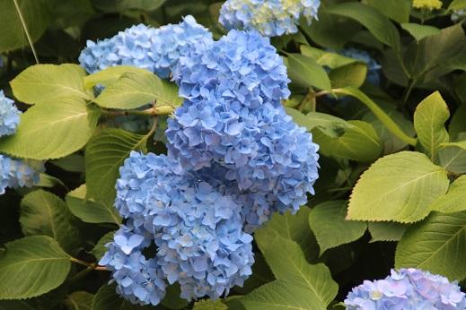 紫陽花 2014-6-9-12