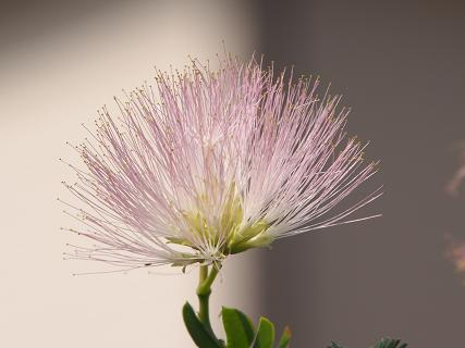ネムの花2