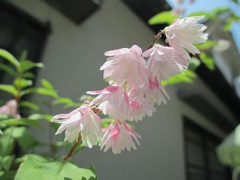 庭の山野草 002-001