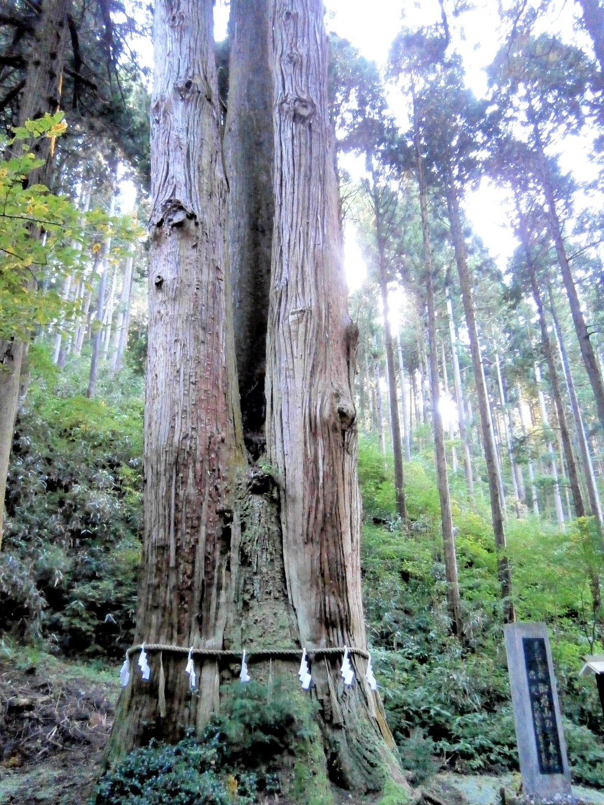 御岩神社三本杉