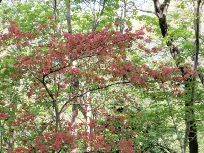 高鈴山の花1