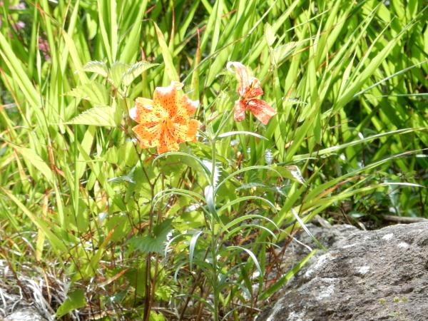 三つ峠の花3