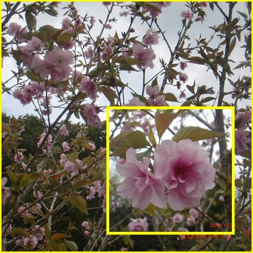 006 八重桜