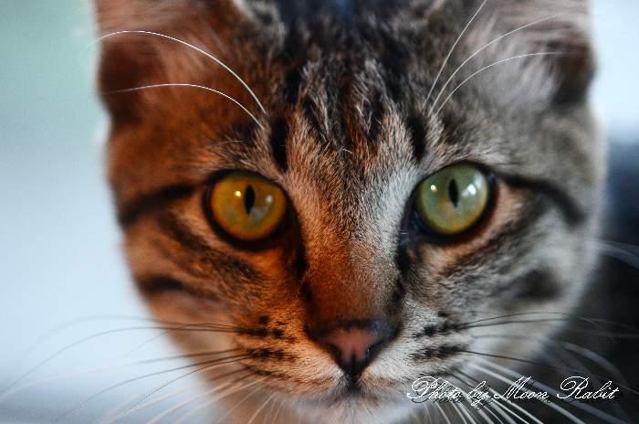猫 マイクを噛むシマオ(縞男)くん 愛媛県