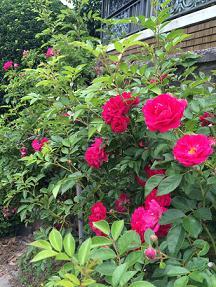rose20146.jpg