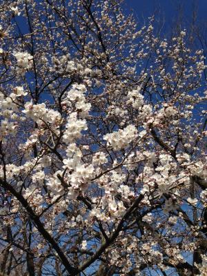 blog_140331sakura_convert_20140331130453.jpg