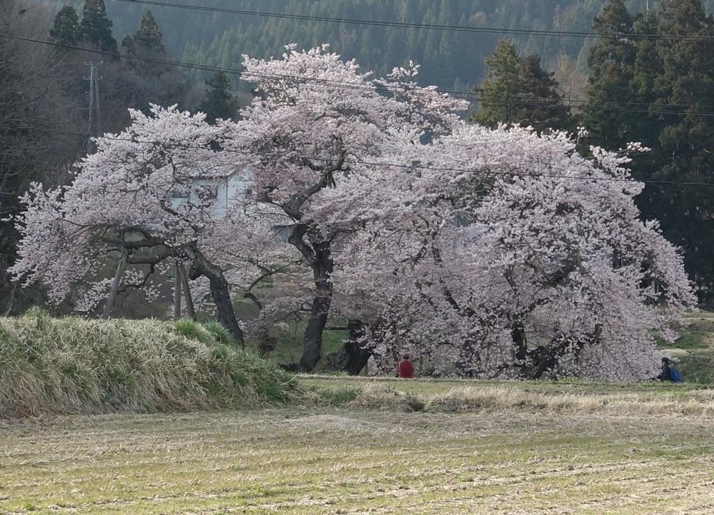 DSC00012石部桜