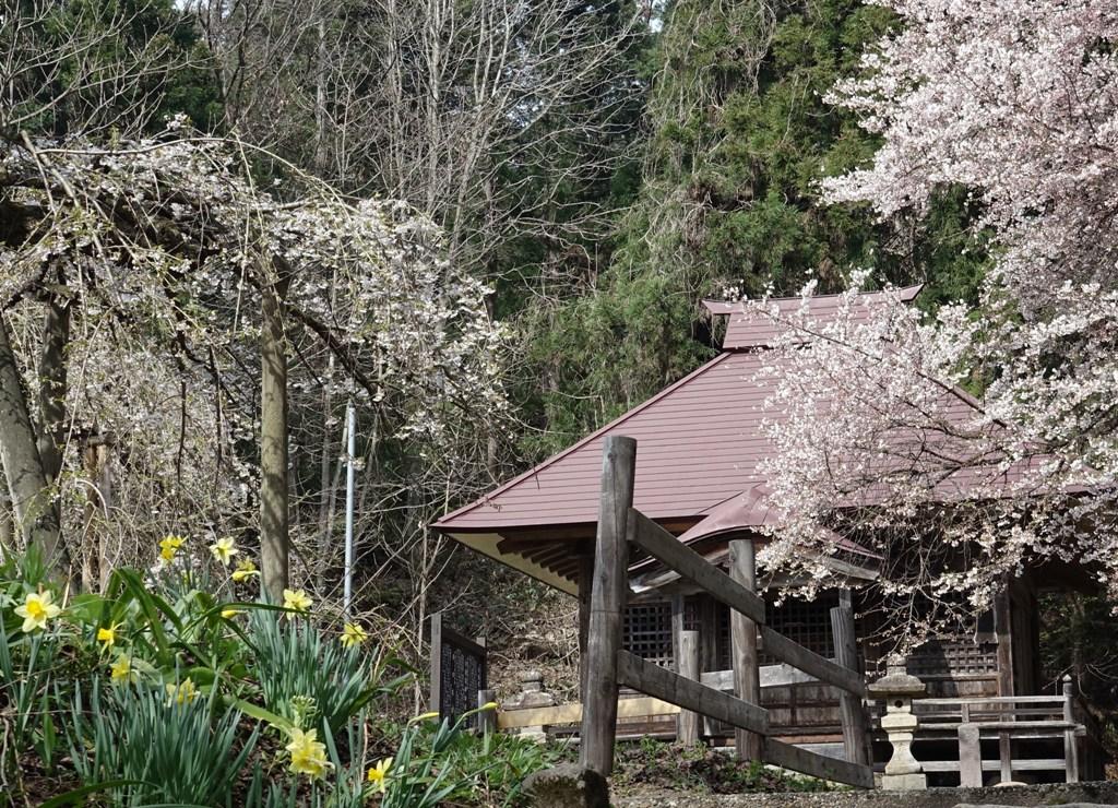 DSC00018糸桜