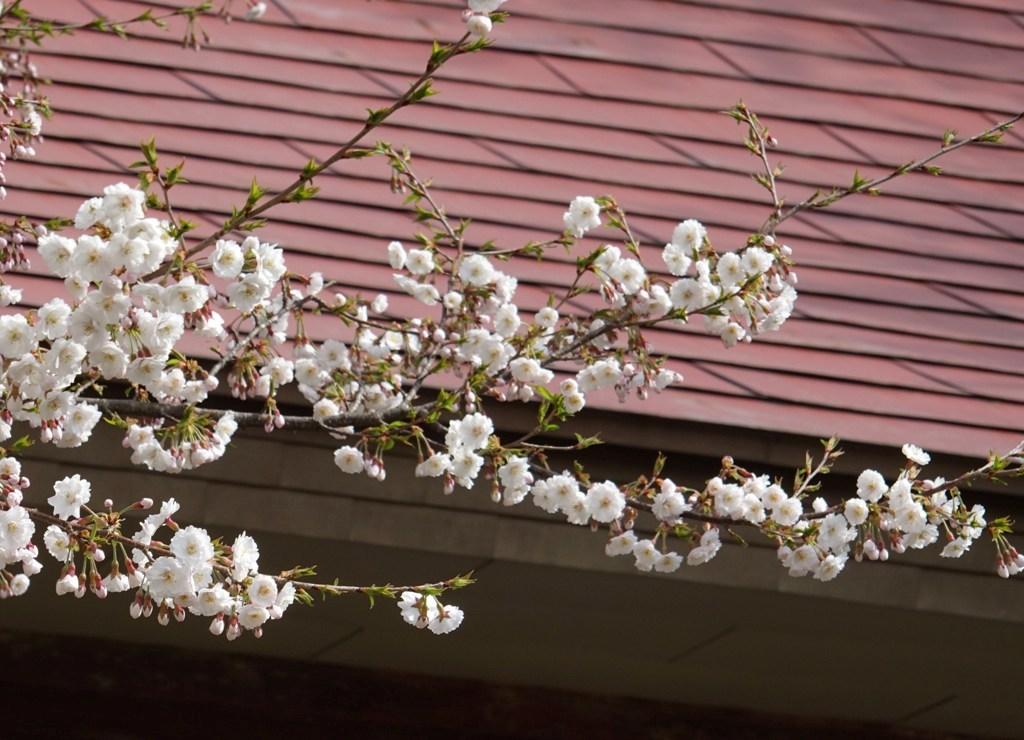 DSC00020糸桜