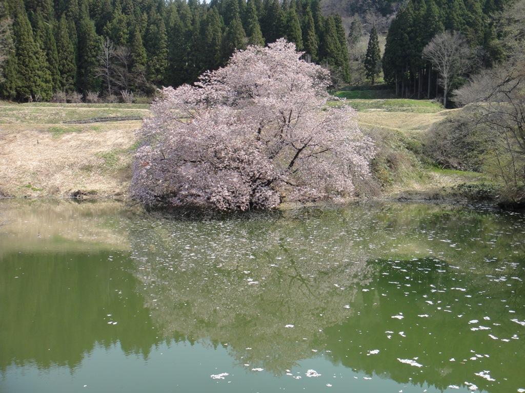 DSC00023鏡桜