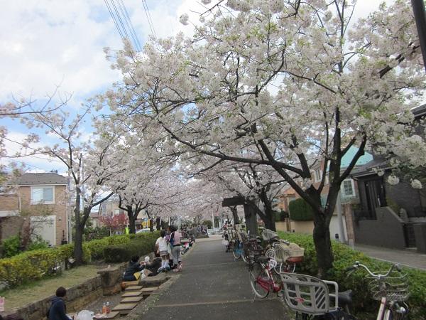 無粋な花散らしの後の桜