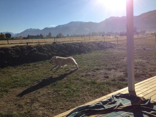 羊の国のラブラドール絵日記シニア!!「元気印!」写真1