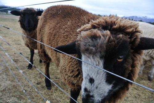 羊の国のラブラドール絵日記シニア!!「羊の国の・・・?」2
