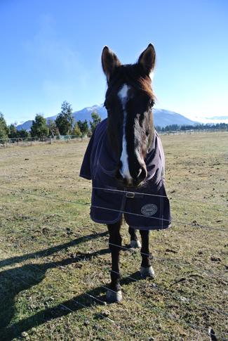 羊の国のラブラドール絵日記シニア!!馬さん1
