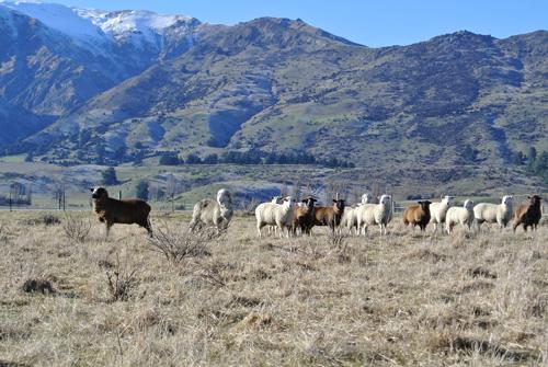 羊の国のラブラドール絵日記シニア!!「羊の国の羊たち」写真日記1