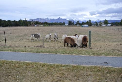 羊の国のラブラドール絵日記シニア!!「羊の国の羊たち」写真日記4