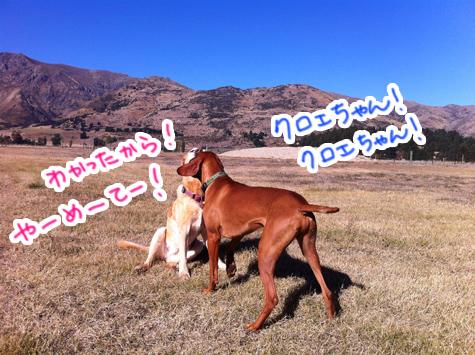 羊の国のラブラドール絵日記シニア!!「お見合いサタデー」写真5