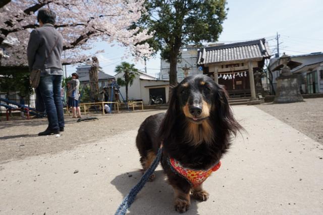 桜散歩 (4)
