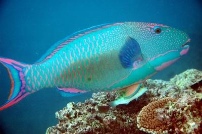 s-Parrot fish