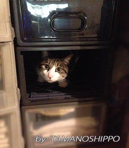 引き出しに入る猫(衣替え中)