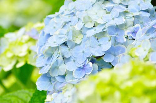 紫陽花0702