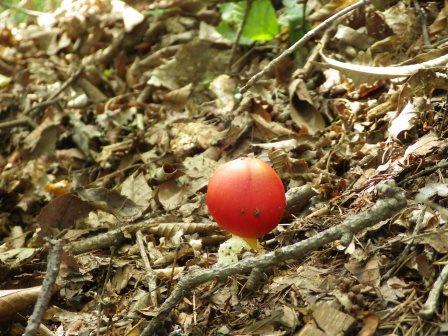 IMGP1678 トマト